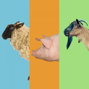 Sheep Pigs Goats